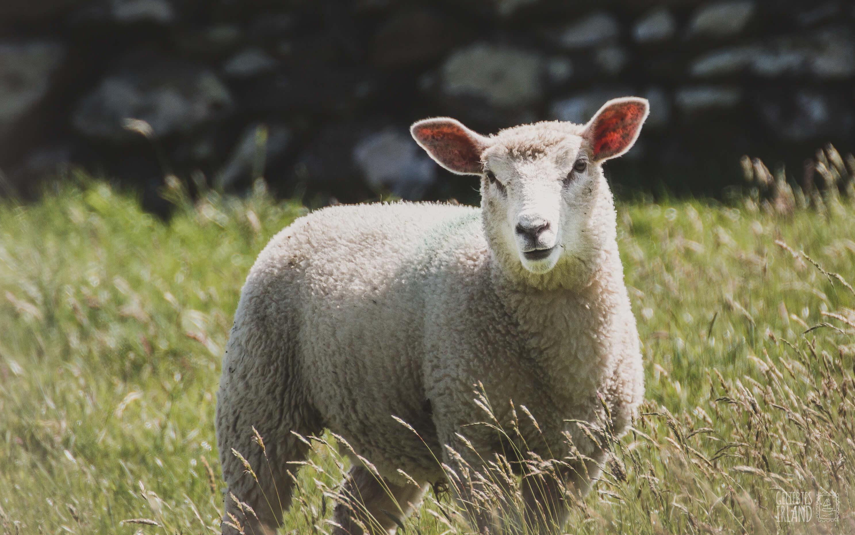 Schaf und fünf Einsteiger Tipps für die erste Irland Reise von geliebtes Irland tiny